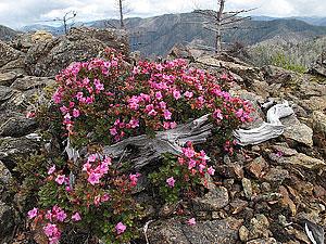 Kalmiopsis leachiana on the west side of the Kalmiopsis Wilderness. Photo by Michael Kauffmann.