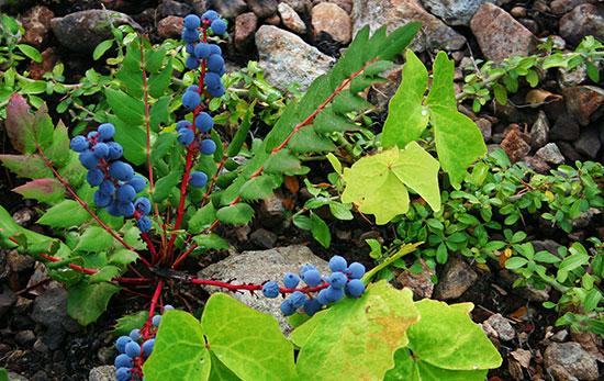 Oregon grape, Babyfoot Lake Botanical Area