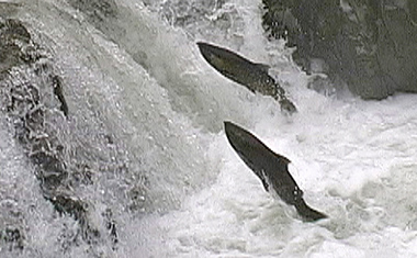 Illinois Basin's wild chinook salmon returning to spawning grounds in the Illinois Valley