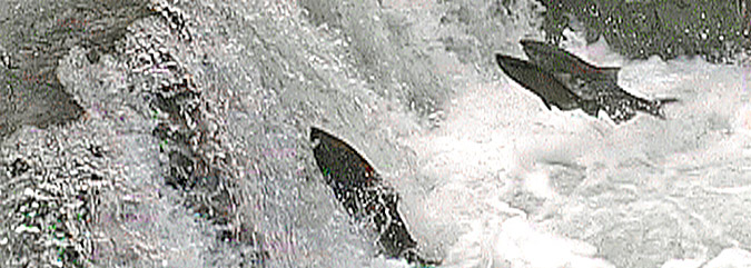 Salmon jumping Illinois River Falls