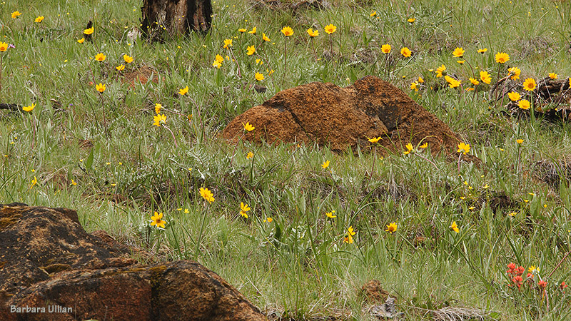 Silky Balsamroot and native grasses