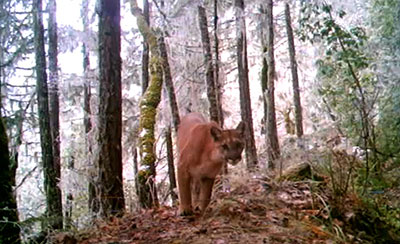A trail camera snapped this photo of a cougar in the Waldo-Takilma area.